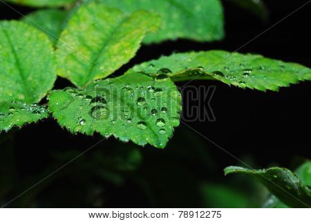 many drops on leaves