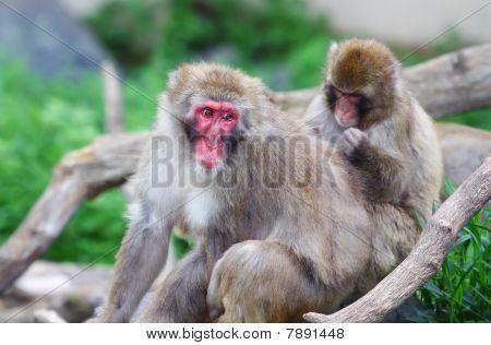 Macaque (snow) Monkey's