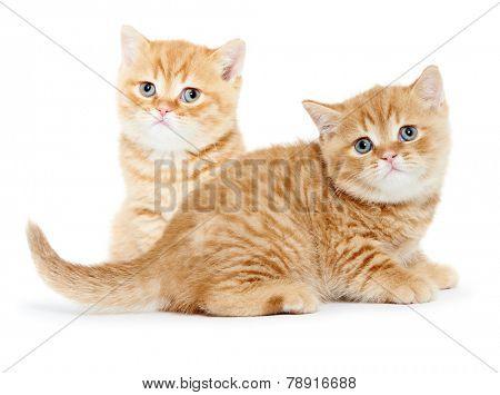 two british shorthair red kitten cat