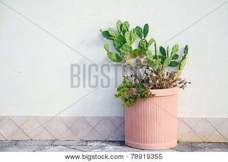 Prickly Pears In A Pot