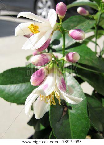 Flowers of limon