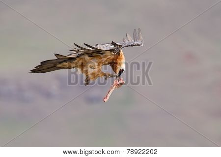 Adult Bearded Vulture Take Off From Mountain After Finding Food