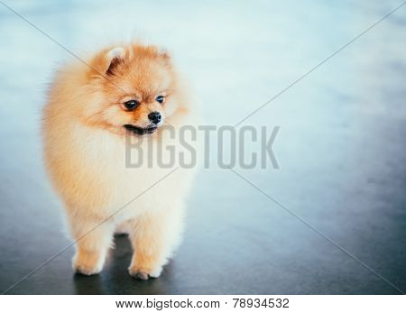 Pomeranian Puppy Spitz Dog In Full Length