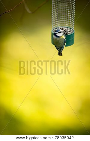 Tiny Blue tit on a feeder in a garden, hungry during winter (lat. Parus caeruleus)
