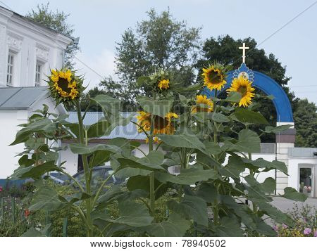 Sunflowers In Monastery Garden