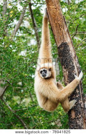 Gibbon (hylobates Lar) Climb Tree In Forest ,chiangrai ,thailand
