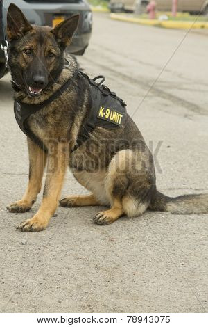 US Navy K-9 German Shepherd providing security during Fleet Week