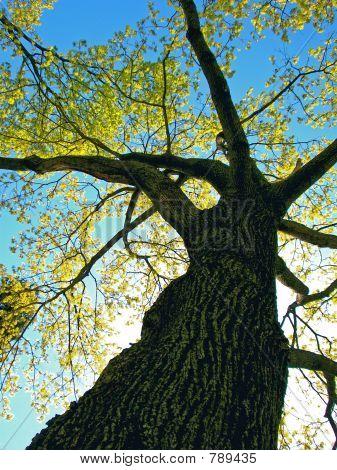 Black Elm Tree In Sunlight