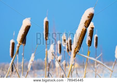 Cattail marsh on the frozen