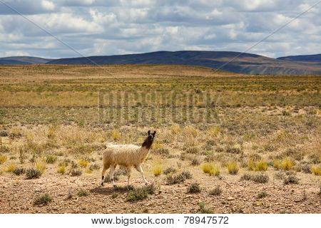Llama near bolivian village