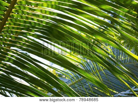 Palm Leaves Closeup