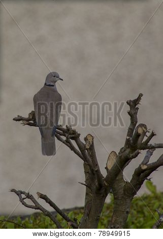 Collared Dove On Branch