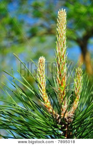 Young Pine Shoots
