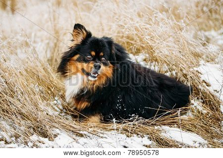 Black And Brown Colors Pekingese Dog