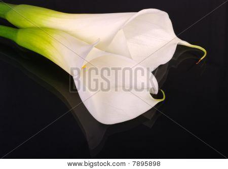 White Arum Lilies