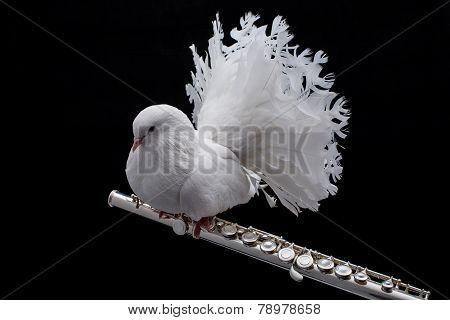 White pigeon on flute
