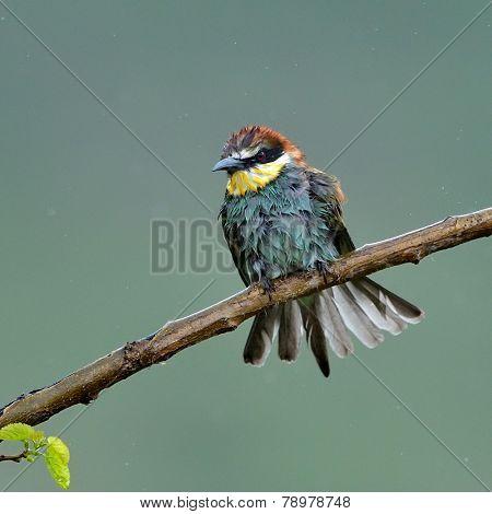 european bee-eater (Merops Apiaster) in natural habitat in rainy day