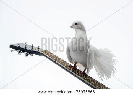 White pigeon on guitar
