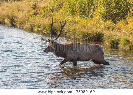 Bull Elk in Stream