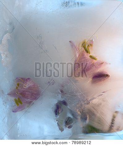 Frozen   Flower Of   Freesia