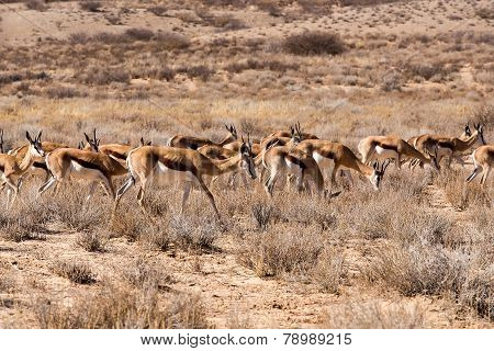 Herd Of Springbok
