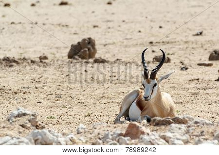 Portrait Of Springbok Antidorcas Marsupialis