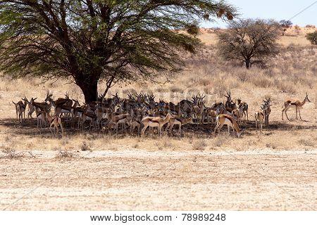 Herd Of Springbok Hiding Under A Big Acacia