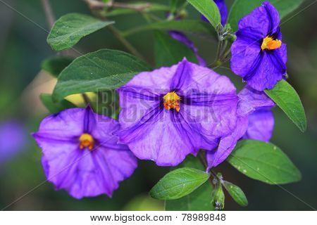 Blue potato bush, Solanum rantonnetii