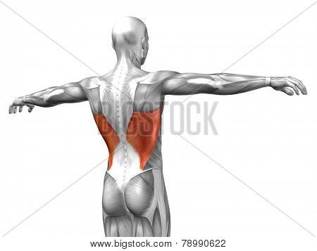 Concept or conceptual 3D Latissimus Dorsi or back human anatomy or anatomical and muscle isolated on white background