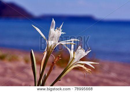 white Agapanthus africanus flower