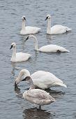picture of trumpeter swan  - Flock of Trumpeter Swans  - JPG