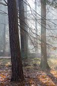 foto of alder-tree  - Autumnal morning in the forest with mist and alder trees - JPG