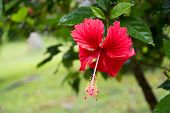 picture of hibiscus  - Red Hibiscus flower  - JPG