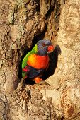 foto of bribie  - Rainbow Lorikeet (Trichoglossus haematodus) sitting at his nesting hole in a tree trunk on Bribie Island Queensland Australia.