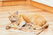 image of orange kitten  - Peaceful Orange Red Tabby Cat Male Kitten Curled Up Lying In His Bed On Laminate Floor.