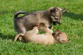 picture of chihuahua  - Small chihuahua puppies playing and fighting on grass  - JPG