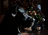foto of great dane  - Black Great Dane keeping and eye out the window on Christmas Eve  - JPG