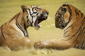 image of cute tiger  - Adult Indochinese tigers fight in the water - JPG