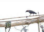 image of raven  - Black raven on boat mast in harbor - JPG