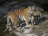 image of tiger cub  - Amur Tiger lifting on of her cubs with her mouth