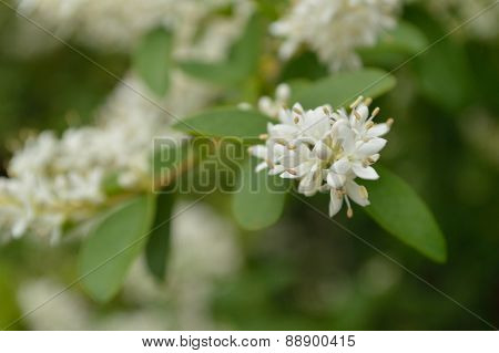 Privet Extreme Closeup (ligustrum Vulgare)