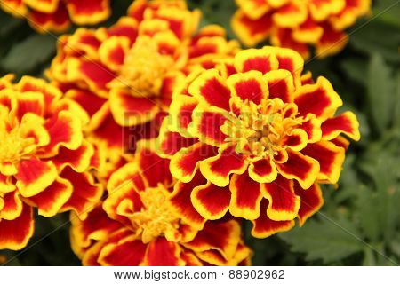 Ornamental marigolds