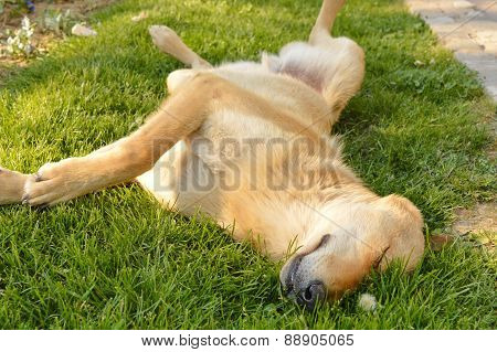 Sleepy Mixed Breed Dog Sleeping In The Grass