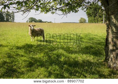 Sheep Standing Under Tree