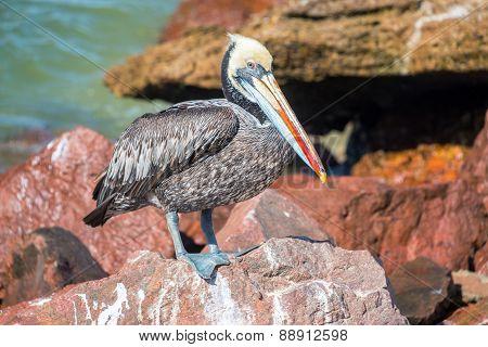 Brown Pelican In Peru