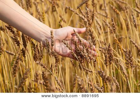 Girl Hand In Wheat Field