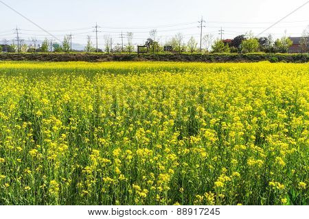 Canola Flowers Growing By The Park