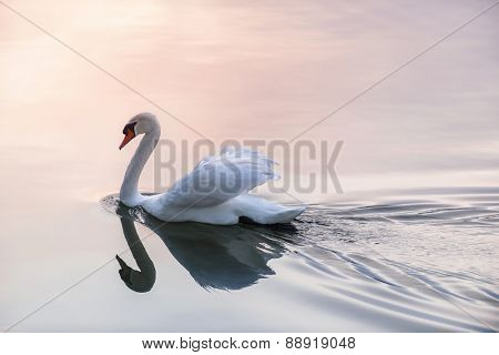 White swan swimming on lake water surface reflecting pink sunset