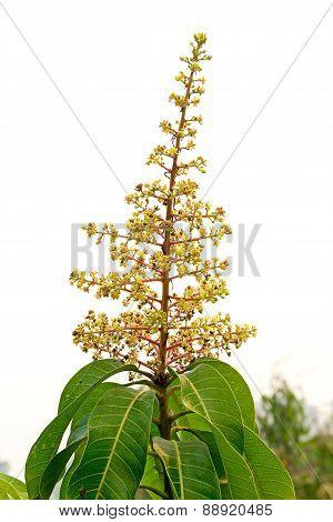Mango Flower On Tree Isolated On White Background