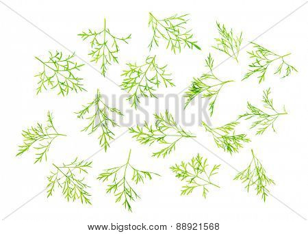 Overhead scattered fresh dill leaves, isolated on white background.